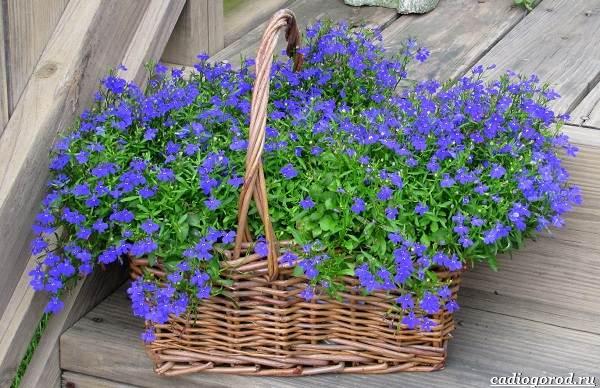 Какие-цветы-для-дачи-и-балкона-цветут-дольше-15