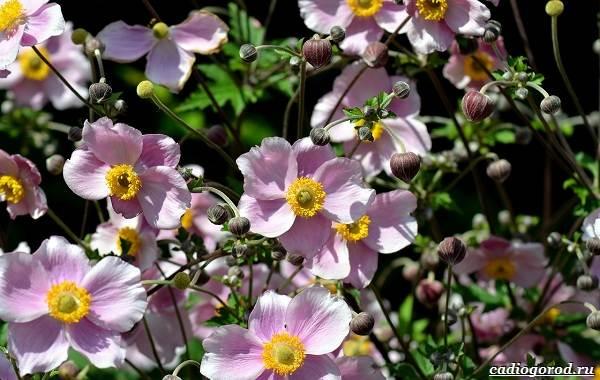 Какие-цветы-для-дачи-и-балкона-цветут-дольше-27