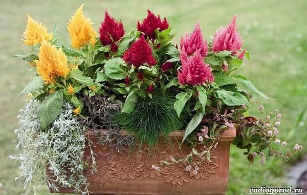 Какие-цветы-для-дачи-и-балкона-цветут-дольше-6