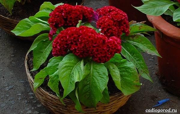 Какие-цветы-для-дачи-и-балкона-цветут-дольше-7