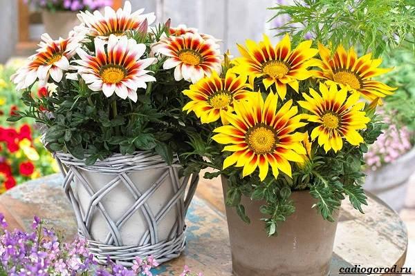 Какие-цветы-для-дачи-и-балкона-цветут-дольше-9