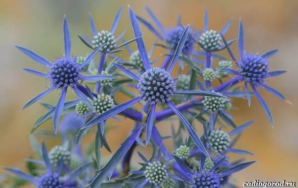 Синеголовник-цветок-описание-особенности-и-виды-1