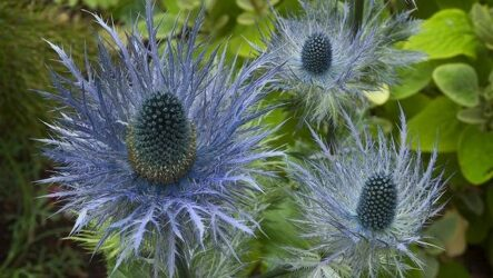 Синеголовник цветок: описание, особенности и виды