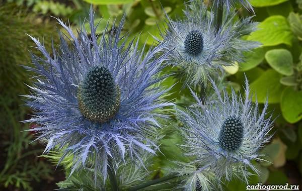 Синеголовник-цветок-описание-особенности-и-виды-10