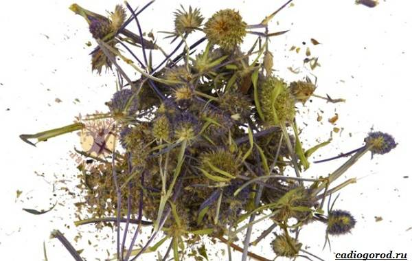 Синеголовник-цветок-описание-особенности-и-виды-11