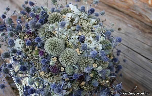 Синеголовник-цветок-описание-особенности-и-виды-12