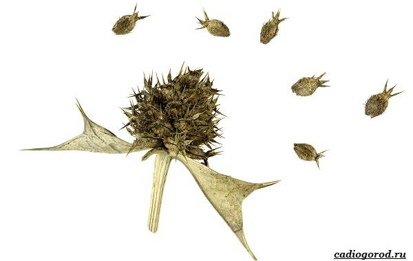 Синеголовник-цветок-описание-особенности-и-виды-14