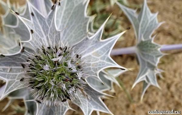 Синеголовник-цветок-описание-особенности-и-виды-15