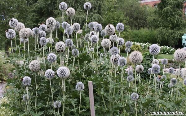 Синеголовник-цветок-описание-особенности-и-виды-2