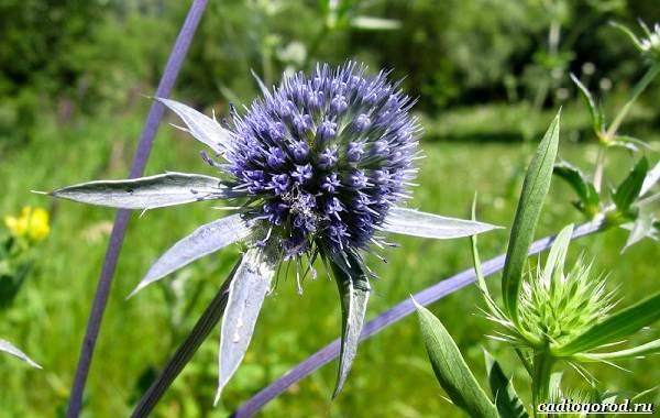 Синеголовник-цветок-описание-особенности-и-виды-4