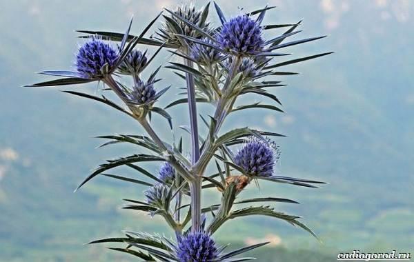 Синеголовник-цветок-описание-особенности-и-виды-8