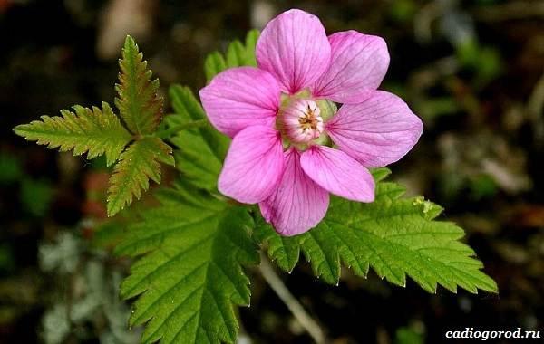 Княженика-ягода-описание-особенности-виды-и-сорта-4