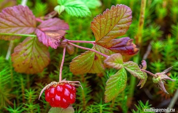 Княженика-ягода-описание-особенности-виды-и-сорта-9