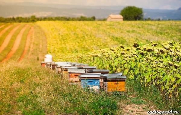 Аккураевый-мёд-изысканный-деликатес-и-лекарство-или-всего-лишь-миф-2