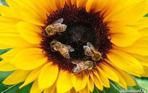 Аккураевый-мёд-изысканный-деликатес-и-лекарство-или-всего-лишь-миф-3