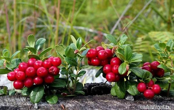 Брусника-ягода-особенности-свойства-виды-и-сорта-1