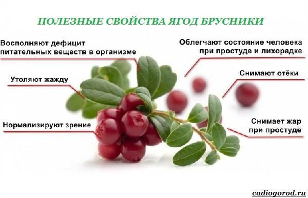 Брусника-ягода-особенности-свойства-виды-и-сорта-12