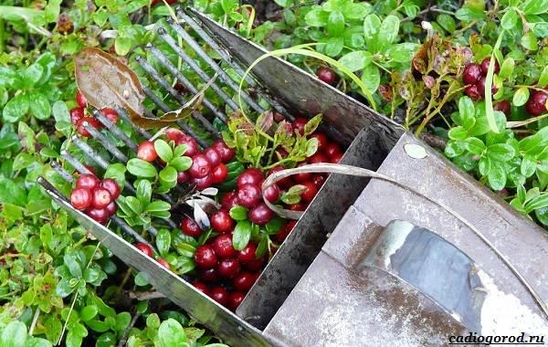 Брусника-ягода-особенности-свойства-виды-и-сорта-16
