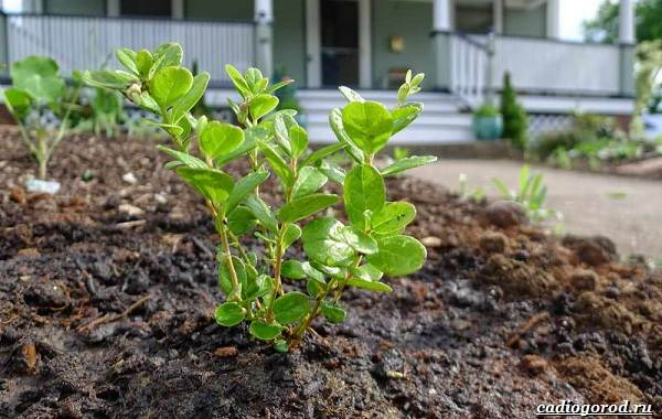 Брусника-ягода-особенности-свойства-виды-и-сорта-20