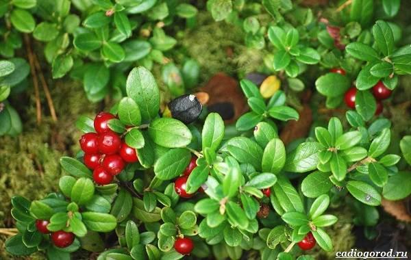 Брусника-ягода-особенности-свойства-виды-и-сорта-3