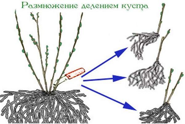 Брусника-ягода-особенности-свойства-виды-и-сорта-32