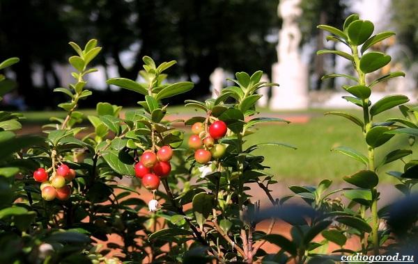 Брусника-ягода-особенности-свойства-виды-и-сорта-34