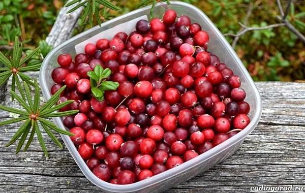 Брусника-ягода-особенности-свойства-виды-и-сорта-35