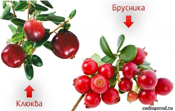 Брусника-ягода-особенности-свойства-виды-и-сорта-36