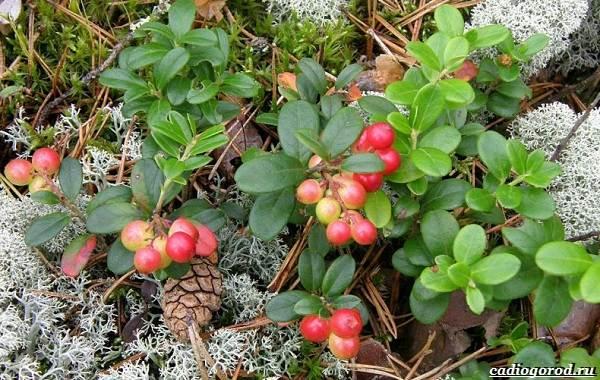 Брусника-ягода-особенности-свойства-виды-и-сорта-6