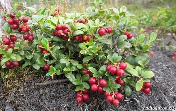 Брусника-ягода-особенности-свойства-виды-и-сорта-7