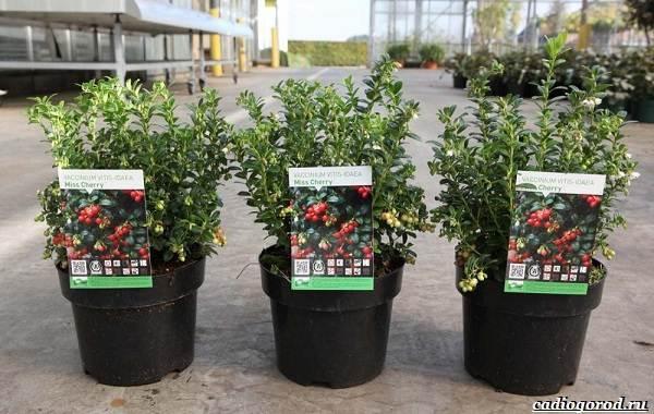 Брусника-ягода-особенности-свойства-виды-и-сорта-9