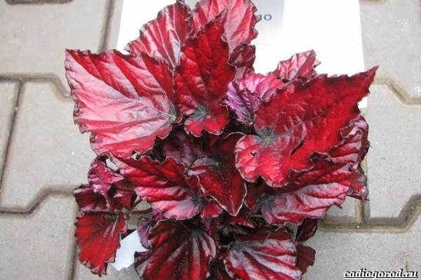 20-видов-красных-цветов-для-дома-и-дачи-11