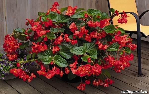 20-видов-красных-цветов-для-дома-и-дачи-12