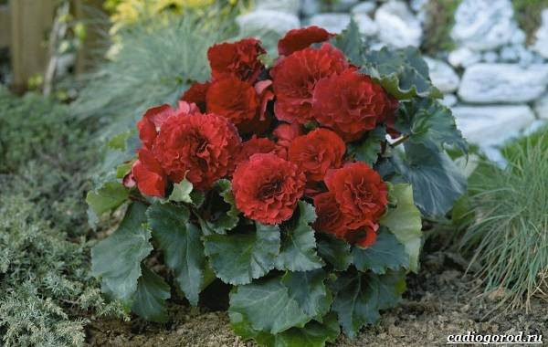 20-видов-красных-цветов-для-дома-и-дачи-14