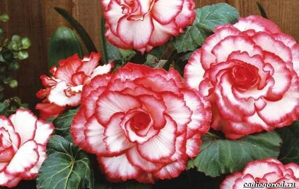 20-видов-красных-цветов-для-дома-и-дачи-16