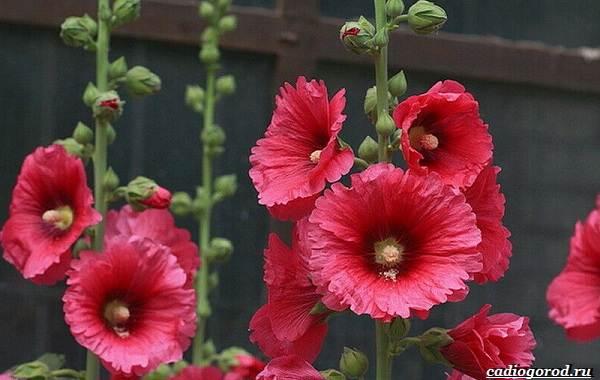 20-видов-красных-цветов-для-дома-и-дачи-2