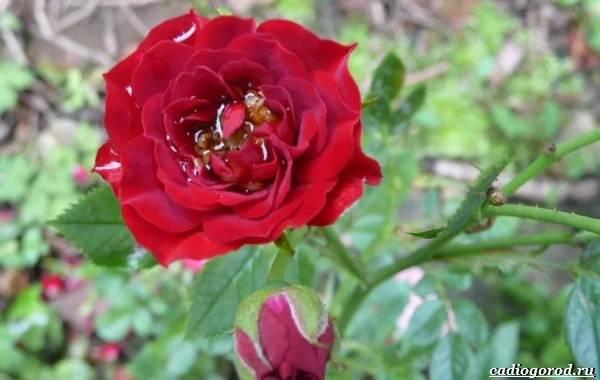 20-видов-красных-цветов-для-дома-и-дачи-21