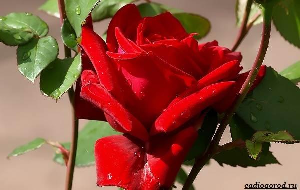20-видов-красных-цветов-для-дома-и-дачи-22