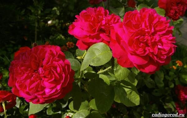 20-видов-красных-цветов-для-дома-и-дачи-23