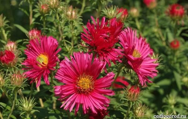 20-видов-красных-цветов-для-дома-и-дачи-27