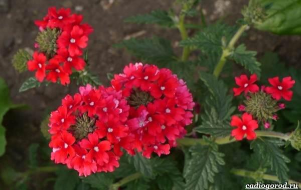 20-видов-красных-цветов-для-дома-и-дачи-28