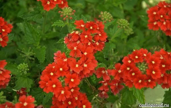 20-видов-красных-цветов-для-дома-и-дачи-29