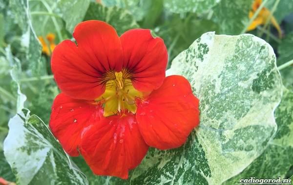 20-видов-красных-цветов-для-дома-и-дачи-31