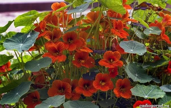 20-видов-красных-цветов-для-дома-и-дачи-33