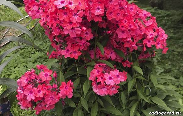 20-видов-красных-цветов-для-дома-и-дачи-34