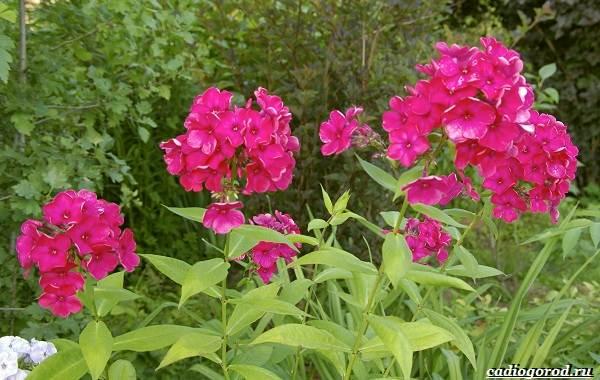 20-видов-красных-цветов-для-дома-и-дачи-35