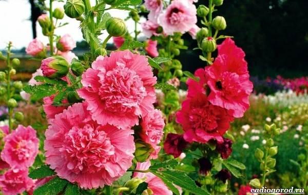 20-видов-красных-цветов-для-дома-и-дачи-4