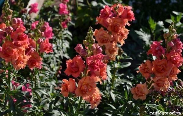 20-видов-красных-цветов-для-дома-и-дачи-44