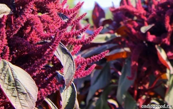 20-видов-красных-цветов-для-дома-и-дачи-50