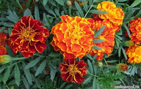 20-видов-красных-цветов-для-дома-и-дачи-52